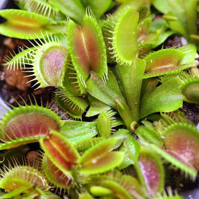venus-flytrap-dc-xl-5